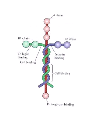 "Laminin-the ""glue that holds us together!"""
